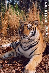 Picture of one of our Tigers